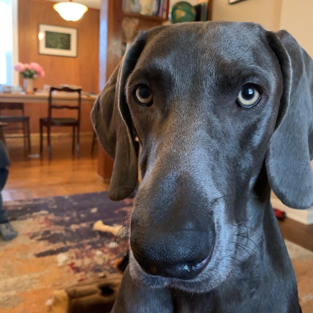 photo of a black Weimaraner dog's face.